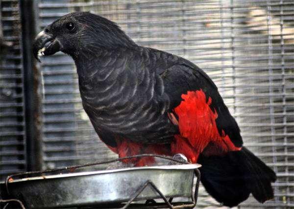 Щетиноголовый попугай (Psittrichas fulgidus), фото птицы попугаи фотография