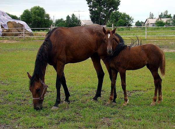 Кобыла с жеребенком, фото разведение лошадей фотография