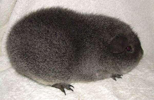 Королевские морские свинки, или Рекс, фото грызуны фотография картинка