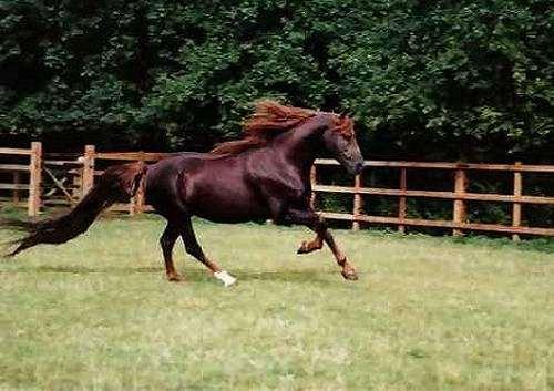 Жеребец Аннихелейтор, фото породы лошадей фотография