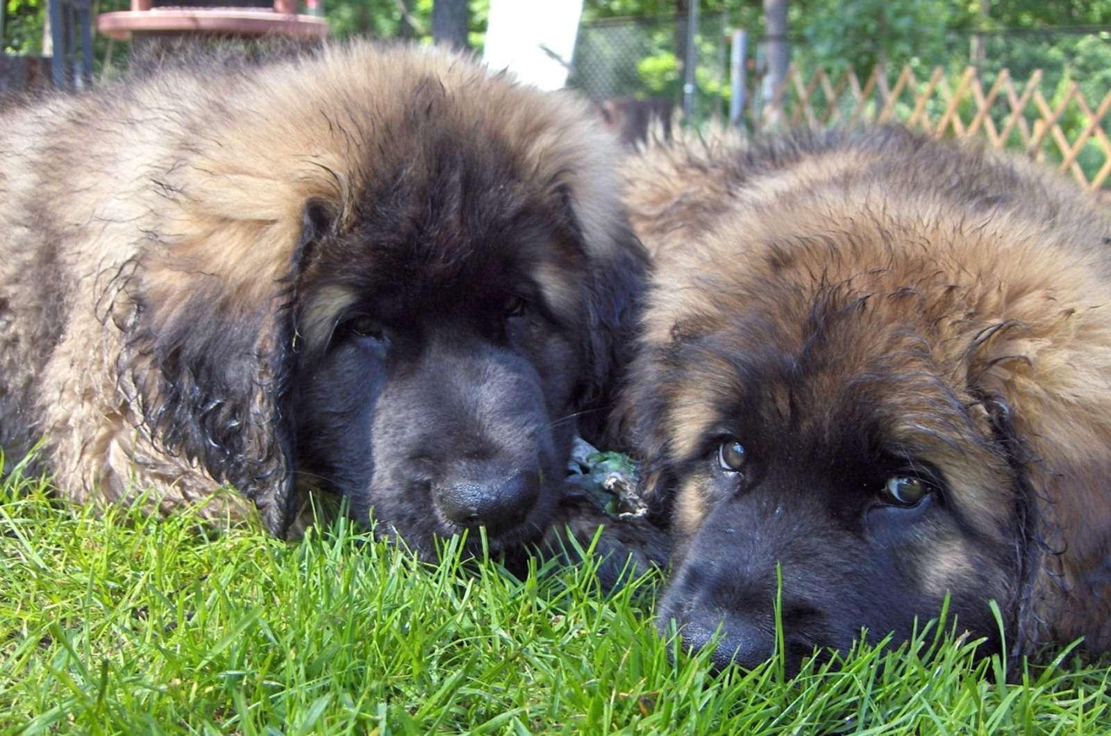 Щенки кавказской овчарки фото собаки ...: zooclub.ru/wallpaper/20760