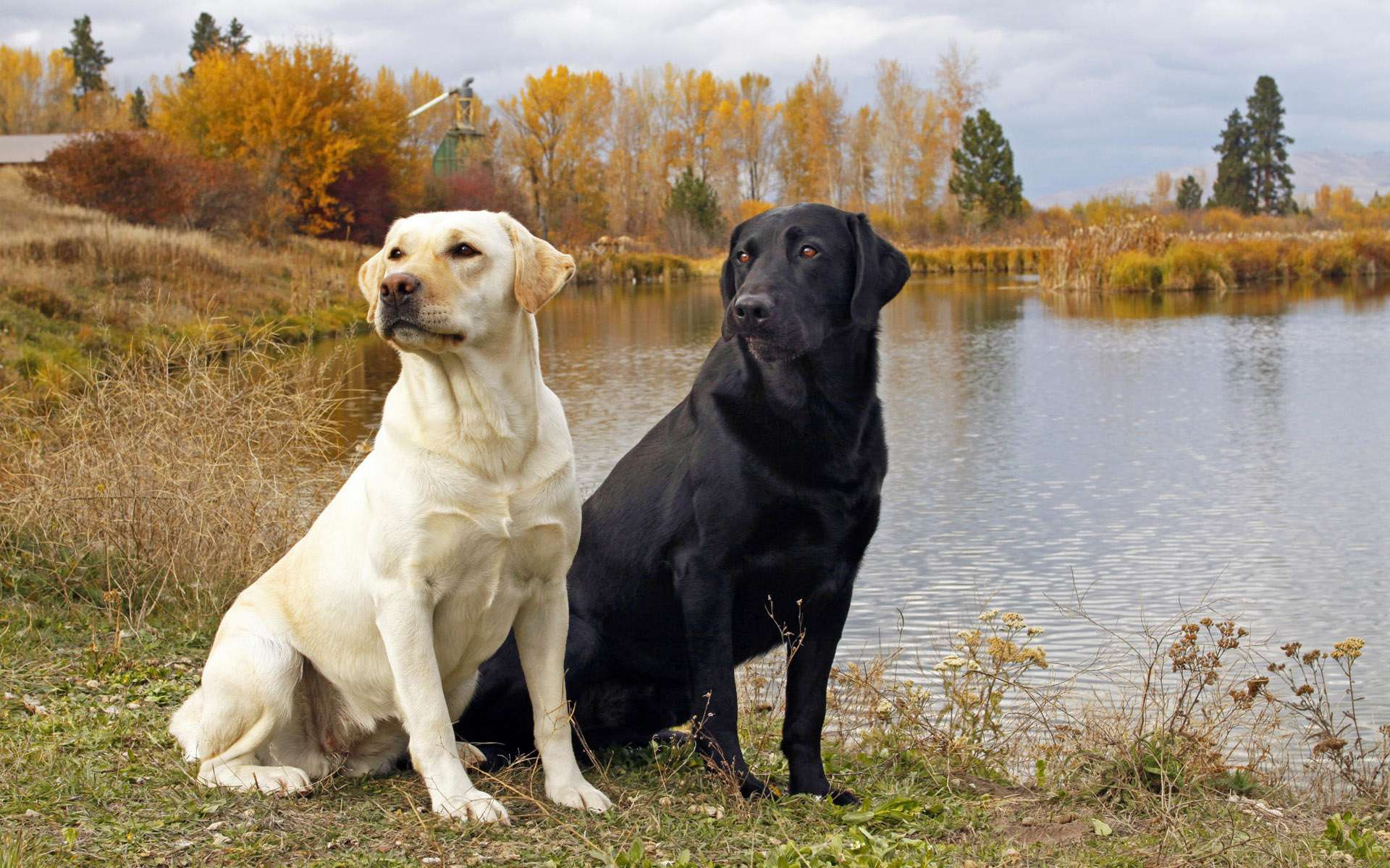 sporting dogs labrador retrievers birds of prey and - HD1920×1200