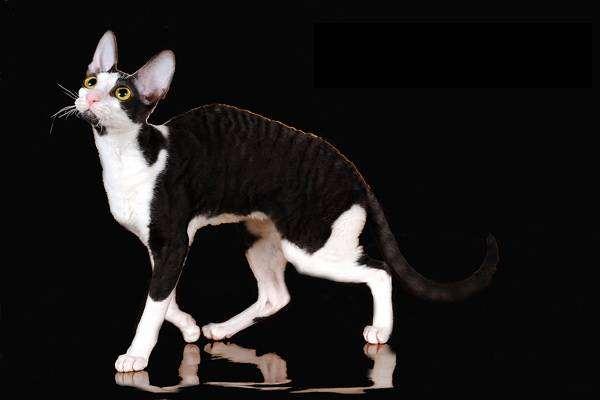 Корниш рекс, фото породы кошек фотография кошки