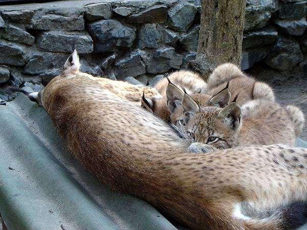 Рысь с котятами, фото фотографии хищники