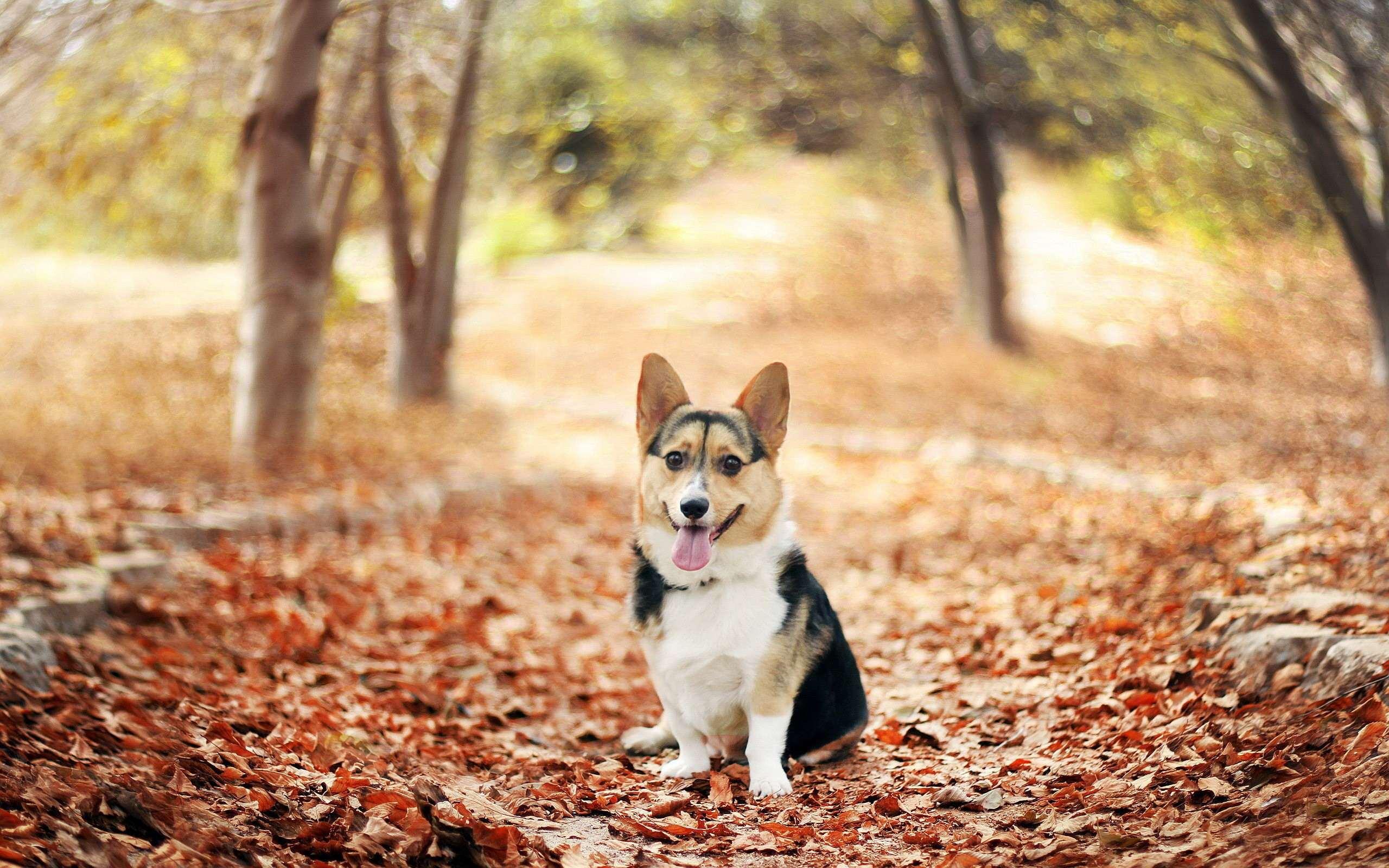 Вельш корги кардиган фото собаки, Вельш корги кардиган ...: http://www.zooclub.ru/wallpaper/20083