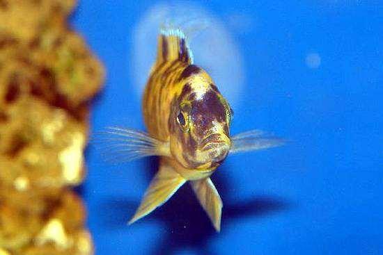 Самец Аулонокара - мультиколор (аквариумный гибрид, потомок природных форм  Аулонокар), фото рыбы фотография