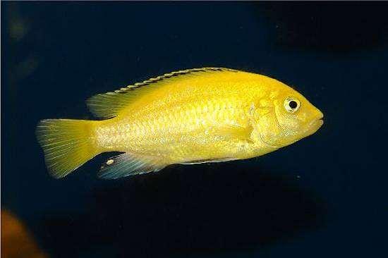 Лабидохромис церулез, или цихлида-колибри (Labidochromis caeruleus), фото рыбы фотография