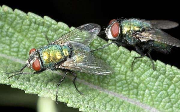 Зеленые мухи, почему мухи потирают лапкой о лапку? Насекомые фото фотография картинка