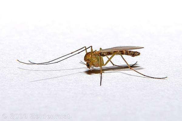 Комар обыкновенный (Culex pipiens), фото насекомые фотография