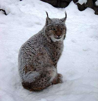 Рысь на снегу, фото фотографии рыси хищники