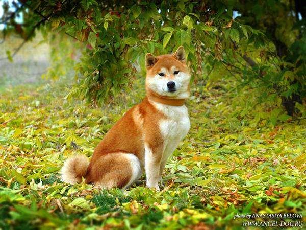 Шиба-ину, сиба-ину, фото породы собак фотография картинка