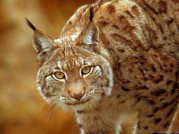 Рысь, фото фотография хищники кошачьи