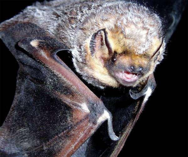 Гавайский волосатохвост (Lasiurus cinereus), фото летучие мыши фотография картинка