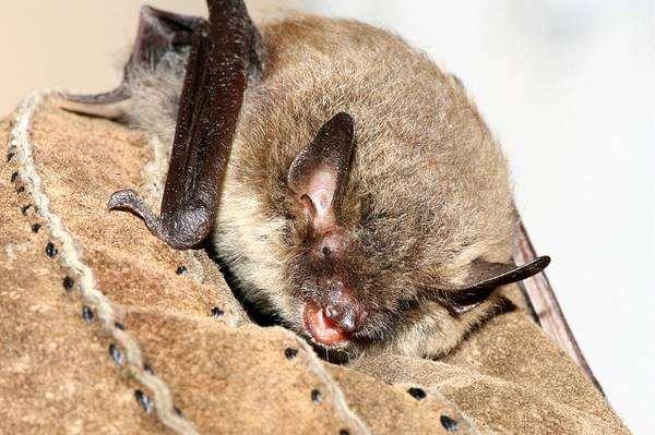 Ночница Брандта (Myotis brandti), фото летучие мыши фотография картинка