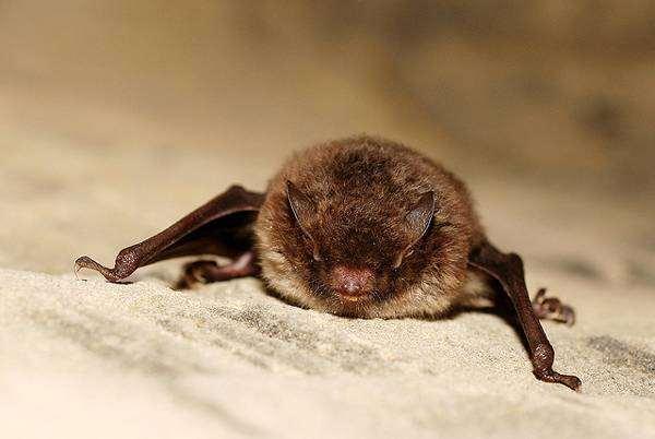 Водяная ночница (Myotis daubentoni), фото летучие мыши фотография картинка