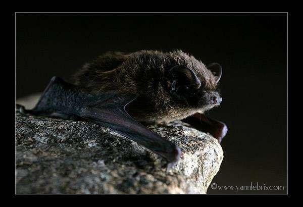 Малая вечерница (Nyctalus leisleri), фото летучие мыши фотография картинка