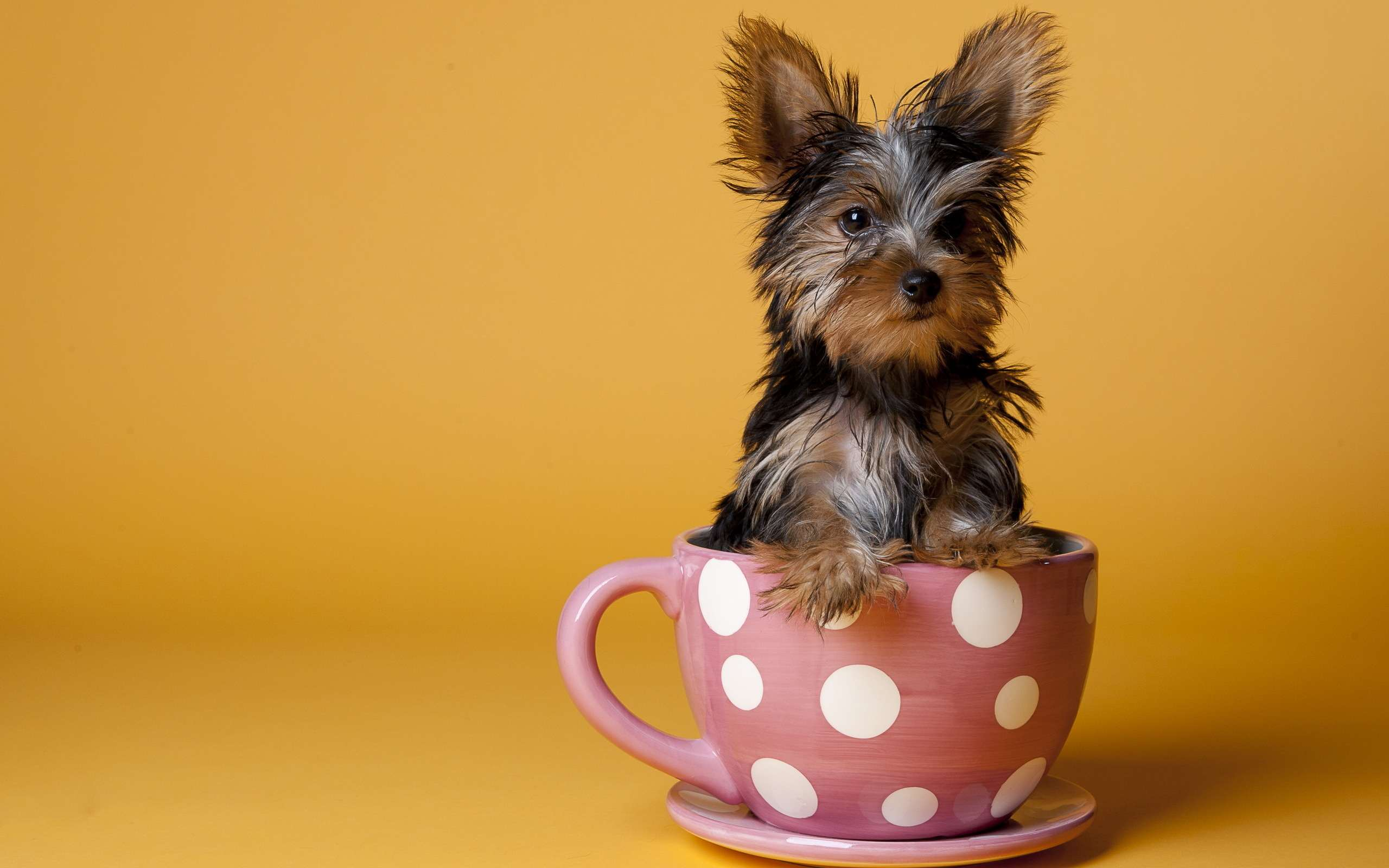 Собака Ротвейлер описание породы фото цена щенков отзывы