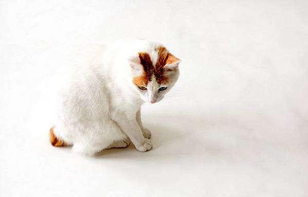 Японский бобтейл (Japanese Bobtail), фото кошки породы кошек фотография