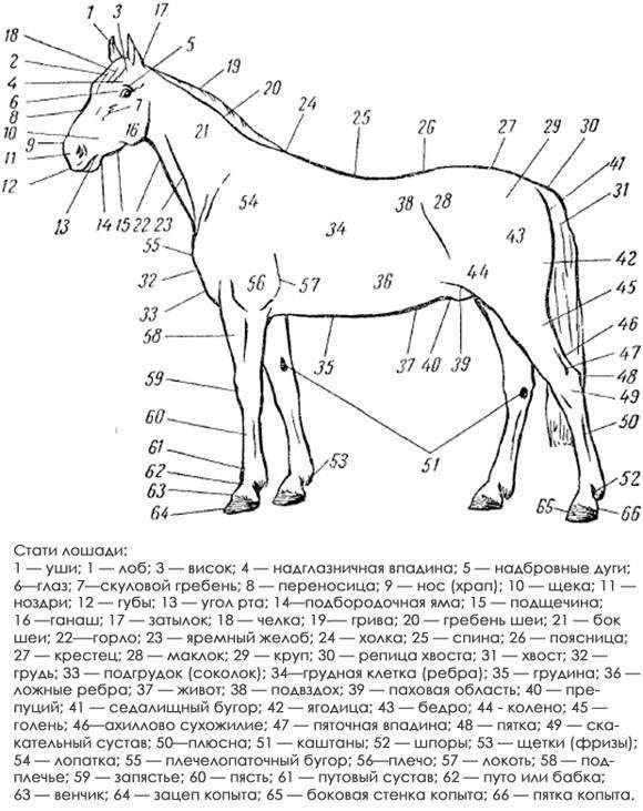Стати экстерьера лошади, черно белый рисунок картинка