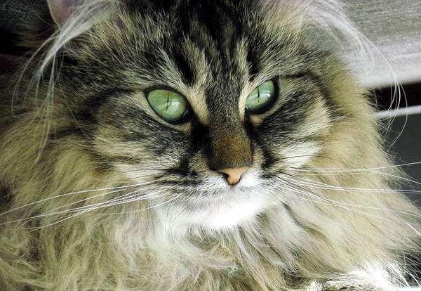 Домашняя длинношерстная кошка, изображение фото кошки породы кошек фотография