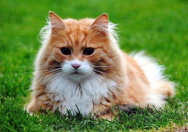Длинношерстная кошка, кошки фото породы кошек фотография