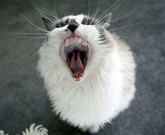 Обоняние кошек кошачье обоняние вкус вкус кошки ориентиры мир  Обоняние и вкус кошки