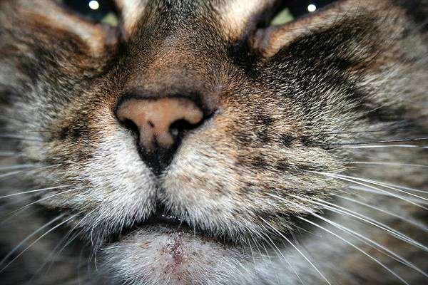 Мордочка кошки, фото кожные болезни кошек фотография