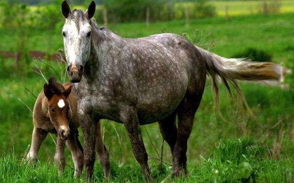 Серая кобыла с жеребенком, фото лошади кони фотография картинка