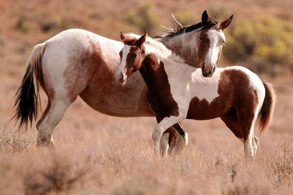 Кобыла с пятнистым жеребенком, фото лошади кони фотография картинка