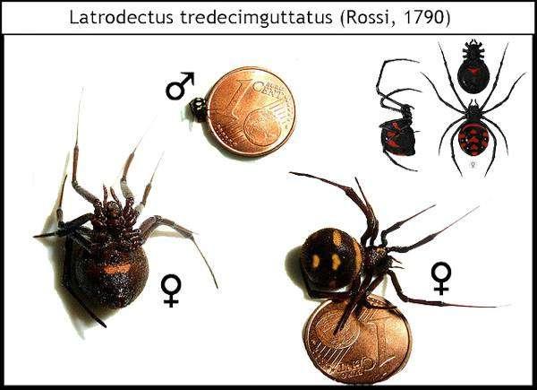 Каракурт, или степная вдова (Latrodectus tredecimguttatus), рисунок картинка ядовитые пауки