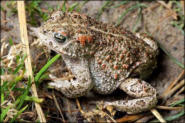Ядовитые земноводные, яд жаб чесночниц жерлянок саламандр кокоа ...