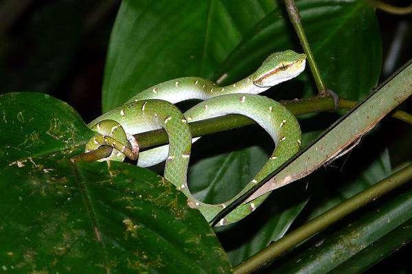 Древесная гадюка Ваглера (Tropidolaemus wagleri), фото рептилии фотография картинка змеи