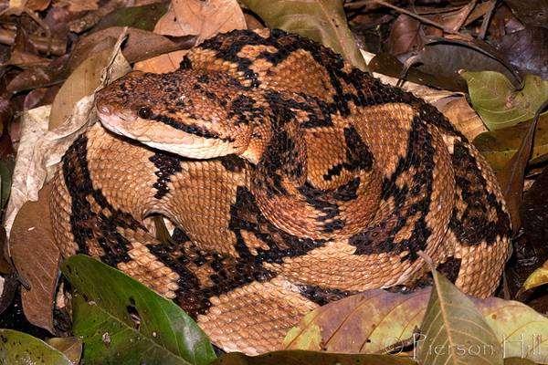 Бушмейстер (Lachesis muta), фото змеи рептилии фотография картинка