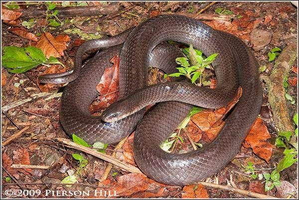 Муссурана (Clelia clelia), фото змеи фотография пресмыкающиеся картинка