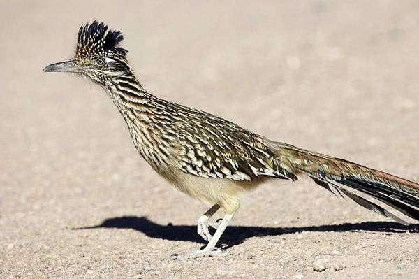 Кукушка-подорожник (Geococcyx californianus), фото птицы фотография картинка