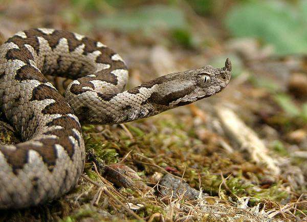 Песчаная гадюка (Vipera ammodytes), фото змеи фотография рептилии картинка