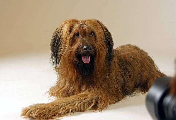 Бриар, французская овчарка, фото породы собак фотография картинка