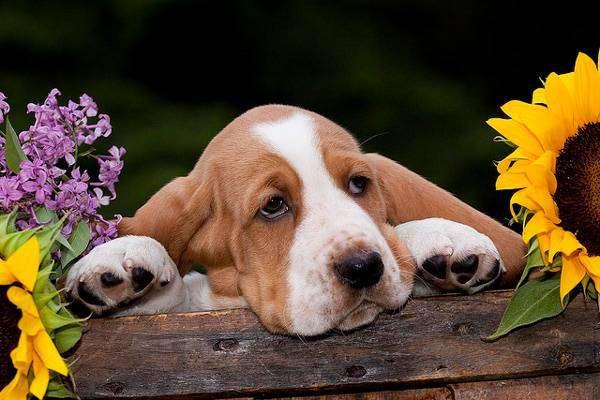 Щенок бассет-хаунда, фото породы собак фотография картинка собаки