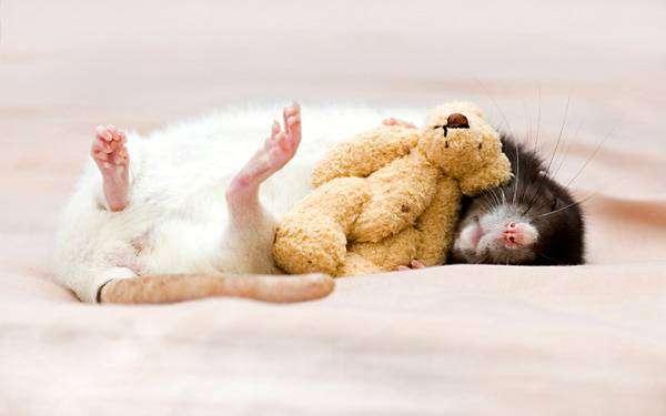 Спящий крысенок и плюшевый мишка, фото грызуны содержание крыс фотография картинка