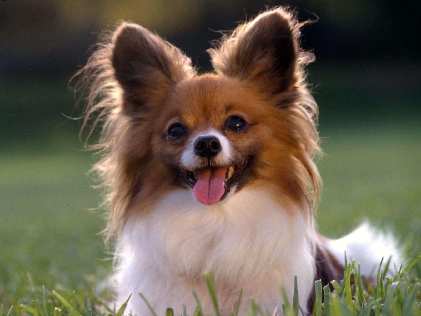 Папильон, папийон, фото породы собаки фотография картинка