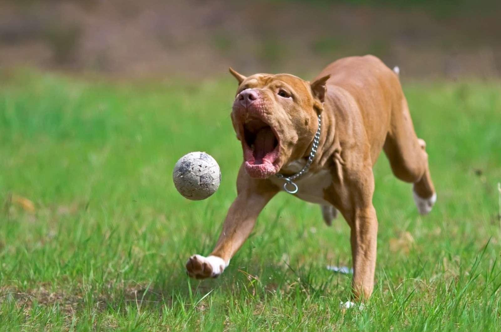 Молодой питбуль фото собаки, Молодой питбуль фото породы ...: http://www.zooclub.ru/wallpaper/21467