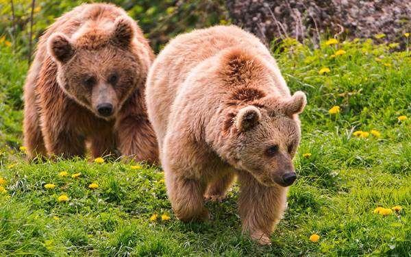 Бурые медведи, фото млекопитающие фотография картинка