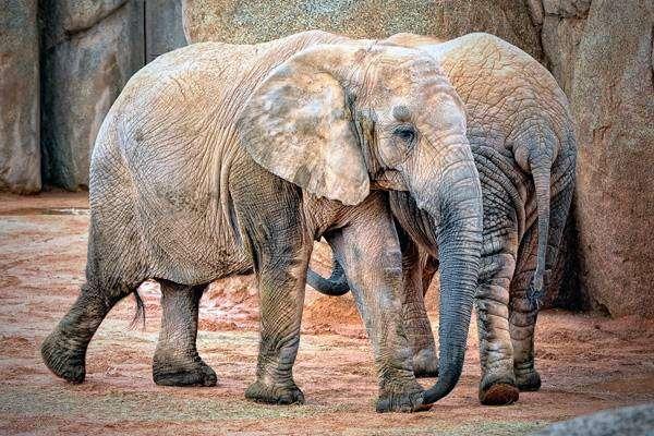 Африканские слоны, фото животные фотография картинка
