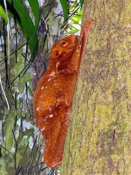 Малайский шерстокрыл (Cynocephalus variegatus), фото кагуаны фотография животные картинка