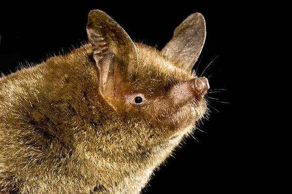 Новозеландская летучая мышь, новозеландский футлярокрыл (Mystacina tuberculata), фото рукокрылые животные фотография картинка