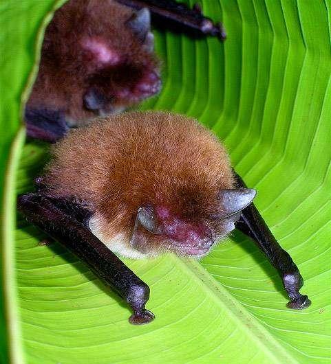 Трехцветный присосконог (Thyroptera tricolor), фото летучие мыши фотография картинка