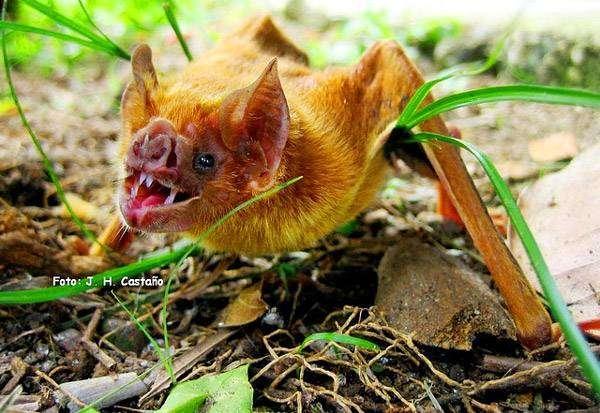 Вампировые десмодовые desmodontidae фото вампиры летучие мыши  Семейство desmodontidae gill 1866 Вампировые десмодовые