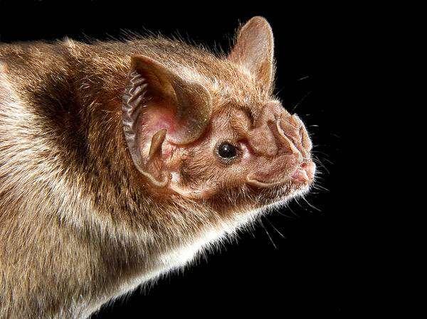 Обыкновенный вампир, десмонд (Desmodus rotundus), фото летучие мыши фотография картинка
