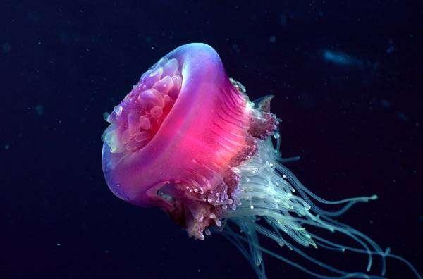 Розовая медуза, фото беспозвоночные фотография картинка