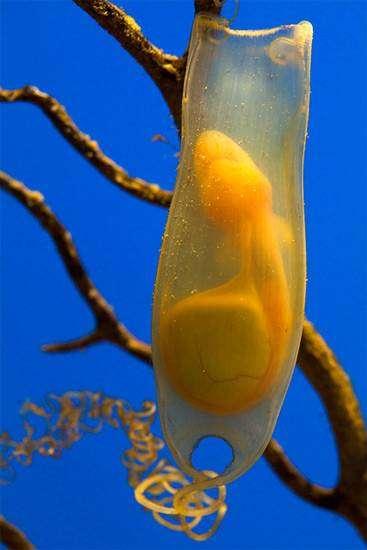 Яйцо акулы, фото рыбы фотография картинка